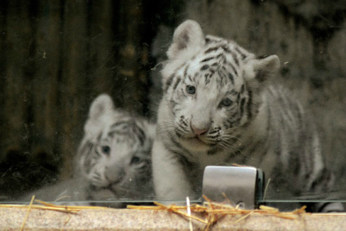 Zoo Liberec Welcomes White Tiger Cubs