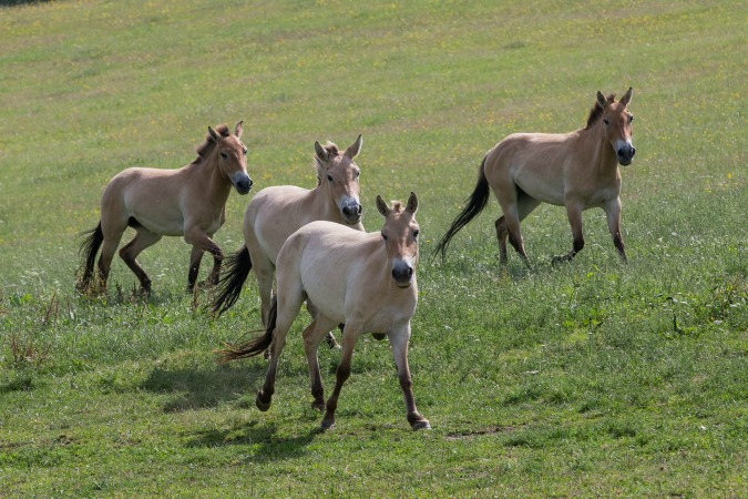, Prague Zoo Releases Rare Horses into the Wild, Expats.cz Latest News & Articles - Prague and the Czech Republic, Expats.cz Latest News & Articles - Prague and the Czech Republic