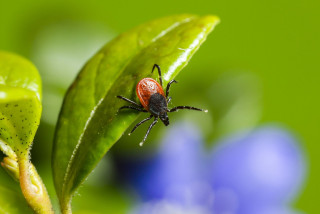 Despite coronavirus lockdown, tick-borne infections are on the rise in the Czech Republic