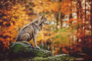 Up to 80 wild wolves roam the Czech Republic, and shepherds aren't happy