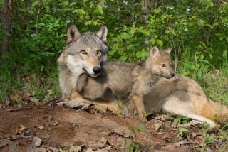 Video: Young wolves spotted in the Beskydy Mountains, first confirmed breeding