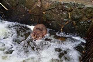 Prague forest officials rescue curious young beaver trapped in a Stromovka park drain