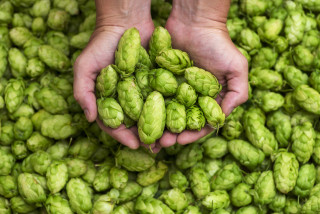 Healed by beer? Czech scientists are working on hops that can combat cancer