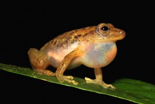A team led by Czech scientist has discovered a new bush frog in the rainforest of Democratic Republic of the Congo,