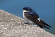 Common house martin named 2020 Czech Bird of the Year